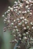 Samen von Knoblauchmakro auf Dampf stockbilder