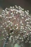 Samen von Knoblauchmakro auf Dampf lizenzfreies stockbild