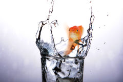 Samengesteld beeld van mond open van goudvis terwijl 3D zwemmen Stock Afbeeldingen