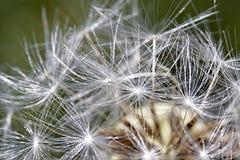 Samenmakrostruktur des Gänseblümchens empfindliche lizenzfreies stockfoto