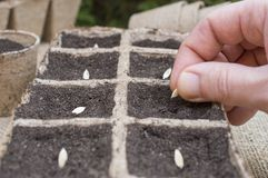 Samensäen, Samen von Gartenpflanzen pflanzend lizenzfreies stockfoto
