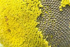 Samensonnenblumenhintergrund Lizenzfreie Stockfotografie