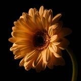 Samenstelling van de bloemen Royalty-vrije Stock Afbeelding