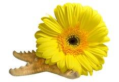 Samenstelling van de de gele bloem en zeester van gerberabloemen Stock Fotografie
