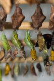 Samenstelling van diverse meningen van een monarch die uit een pop te voorschijn komen Royalty-vrije Stock Foto