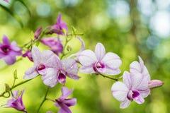 Samenvatting vaag van purpere orchideeën, Dendrobium Stock Afbeeldingen