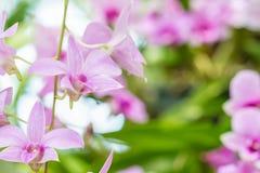 Samenvatting vaag van purpere orchideeën, Dendrobium Stock Afbeelding