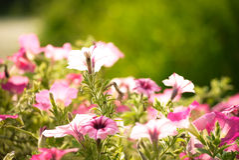 Samenvatting vage bloemachtergrond Stock Afbeeldingen