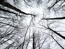 Samenvatting van berkbomen die tot de hemel in de winter bereiken Stock Foto's