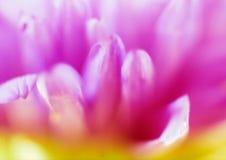 Samenvatting van de bloem van de Aster Stock Afbeeldingen