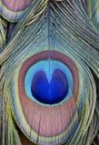 Samenvatting van Veren van Indische Pauwen Stock Afbeelding