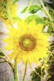 Samenvatting van zonnebloem Stock Foto