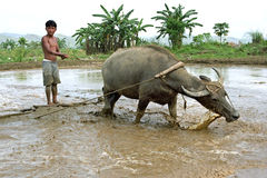 Samenwerking tussen menselijk en dierlijk, buffels Stock Afbeelding