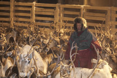 Sami reindeer gathering in Lapland, Finland Stock Photos