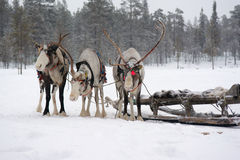 Sami reindeer team on the snow-covered forest Royalty Free Stock Photography