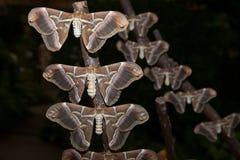 Samia ricini moth Royalty Free Stock Image