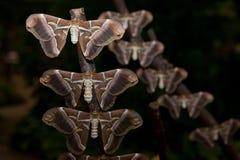 Samia ricini moth stock photo