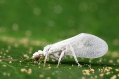 samica lacewing Obrazy Royalty Free