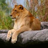 samica lwa Zdjęcie Stock
