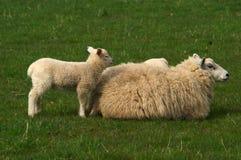 samice owiec Zdjęcie Royalty Free