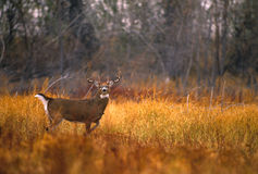 samiec łąki whitetail Fotografia Royalty Free