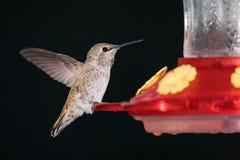 Samiec Anna ` s hummingbird zdjęcie royalty free