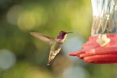 Samiec Anna ` s Hummingbird przy dozownikiem obraz royalty free