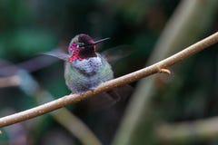 Samiec Annas Hummingbird obrazy stock
