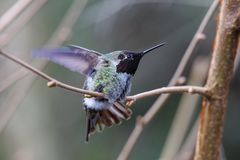 Samiec Annas Hummingbird zdjęcia royalty free
