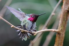 Samiec Annas Hummingbird obrazy royalty free