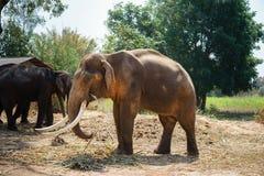 Samiec Asia elephent postronek z łańcuchem w Thailand Zdjęcie Stock