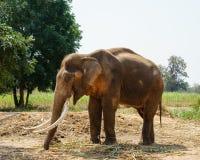 Samiec Asia elephent postronek z łańcuchem w Thailand Obraz Royalty Free