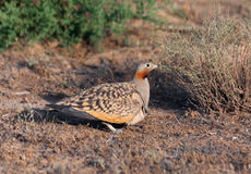 Samiec Bellied sandgrouse, Pterocles orientalis Fotografia Royalty Free