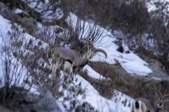 Samiec Bharal Pseudois nayaur także znać jako Himalajscy Błękitni cakle fotografia stock