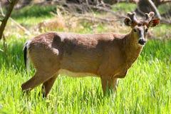 samiec biel jeleni ogoniasty Obraz Royalty Free