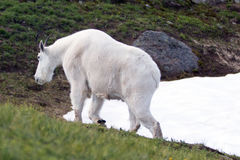 Samiec Billy kózki odprowadzenie na Huraganowym wzgórza snowfield obraz royalty free