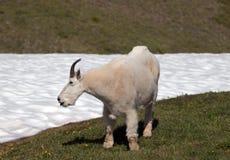 Samiec Bily Halnej kózki Oreamnos Americanus na Huraganowym wzgórza, grani snowfield w Olimpijskim parku narodowym w stan washing Zdjęcia Stock