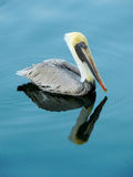 Samiec Brown pelikan Zdjęcie Royalty Free