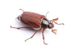 Samiec chrząszcz na bielu Fotografia Royalty Free