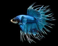 Samiec Crowntail Betta ryba Odizolowywająca na Czarnym tle Obrazy Royalty Free