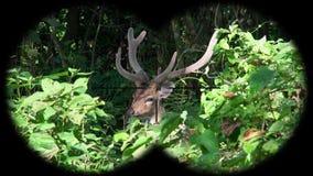 Samiec Dostrzegał rogacze Chital lub Cheetal także dzwoniąca osi oś Widzieć przez lornetek Dopatrywań zwierzęta przy przyroda saf zdjęcie wideo