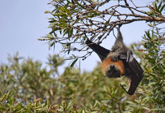 Samiec Fying Fox obwieszenie od drzewa (Owocowy nietoperz) Obraz Royalty Free