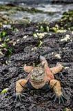 Samiec Galapagos Morska iguana odpoczywa na lawowych skałach Zdjęcia Stock