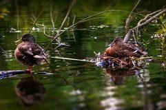 Samiec i żeńska kaczka dbamy dla ich jajek Fotografia Stock