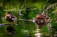 Samiec i żeńska kaczka dbamy dla ich jajek w ich gniazdeczku Zdjęcie Stock
