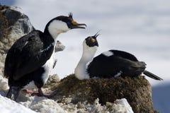 Samiec i żeński błękitnooki kormoranu siedzieć Antarktyczni Obrazy Royalty Free