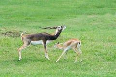 Samiec i żeńskie Grant ` s gazele w lęgowym zachowaniu Zdjęcia Royalty Free