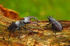 Samiec i famale insekt Jeleń ściga, Lucanus cervus, duży insekt w natury siedlisku, stary drzewny bagażnik, jasny pomarańczowy tł zdjęcie royalty free