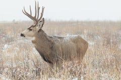 samiec jeleni muła śnieg Fotografia Royalty Free