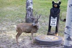 samiec jeleni muła aksamit obraz royalty free